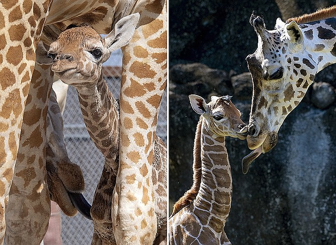 In these photos provided by Zoo Miami, two unnamed male calves appear with their mothers at the zoo on Monday, April 5 in Miami. (Ron Magill/Zoo Miami via AP)