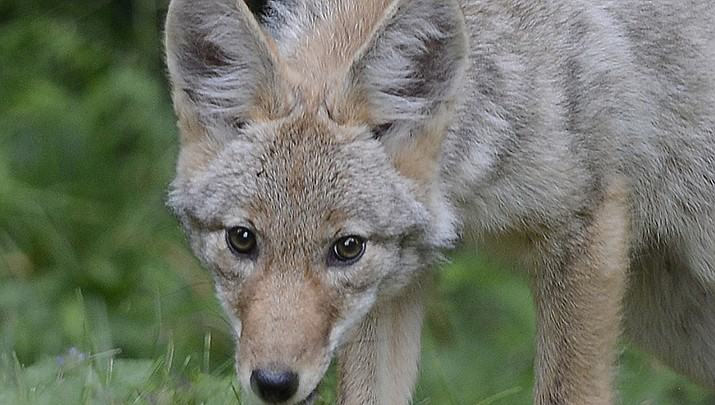 The Arizona Game and Fish Department is conducting aerial gunning of coyotes between Seligman and Kingman to help prevent predation of pronghorn antelope fawns. (Photo by VJAnderson, cc-by-sa-4.0, https://bit.ly/3sNSMRU)