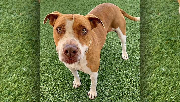 If you would like to meet Sadie Mae and give her a loving home to call her own, please call the Chino Valley Animal Shelter at 928-636-4223 ext. 7 to set up an appointment. (Chino Valley Animal Shelter)