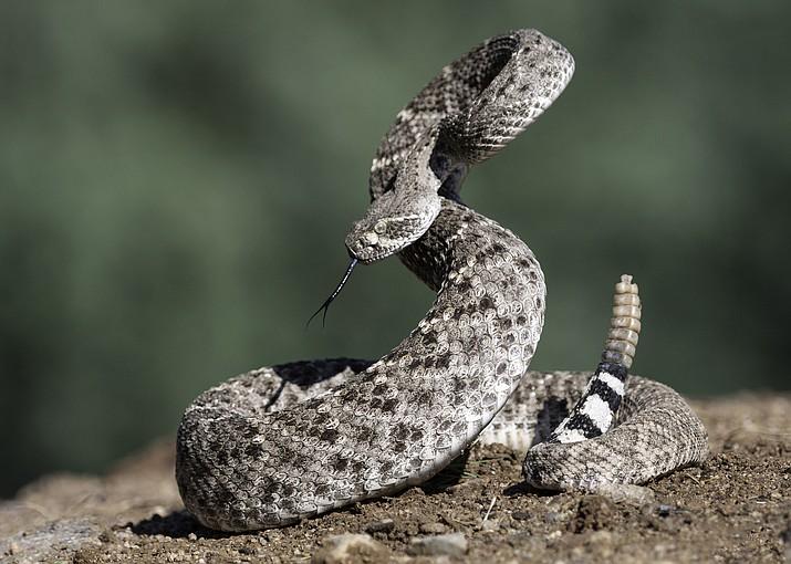 Western Diamondback Rattlesnake (Courier stock photo)