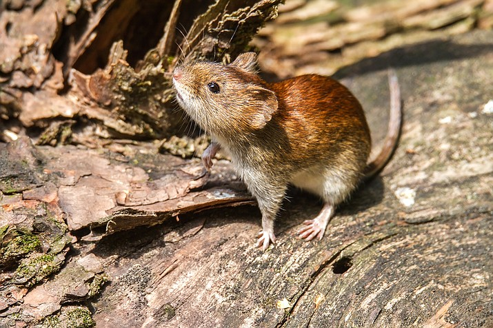 Hantavirus typically is reported in spring and summer, often due to exposures that occur when people are near mouse droppings in homes, sheds or poorly ventilated areas. (Photo/Adobe Stock)