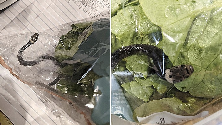 In these photos provided by Alex White, a Pale-headed snake is photographed in a bag of lettuce in Sydney, Monday, April 12, 2021. White thought he was watching a huge worm writhing in plastic-wrapped lettuce he'd just brought home from a Sydney supermarket, until a snake tongue flicked. (Alex White via AP)