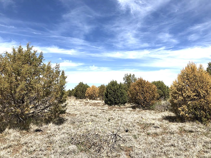 The U.S. Forest Service has been investigating a significant die-off of juniper trees across much of central and northern Arizona. (Photo/USFS)