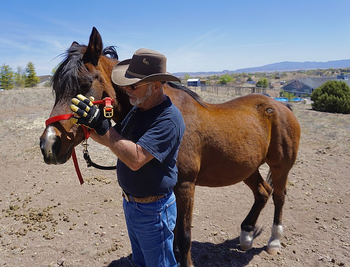 Former U.S. Marine Corps sergeant and avid horseman, Charles Drives, prepares Remme for a walk on Tuesday, April 20, 2021, as part of the Equine Snuffle Therapy program, which was started by Chino Valley resident and dissociative amnesia disorder patient Kellogg Patton to help veterans and first responders cope with their PTSD. (Aaron Valdez/Review)