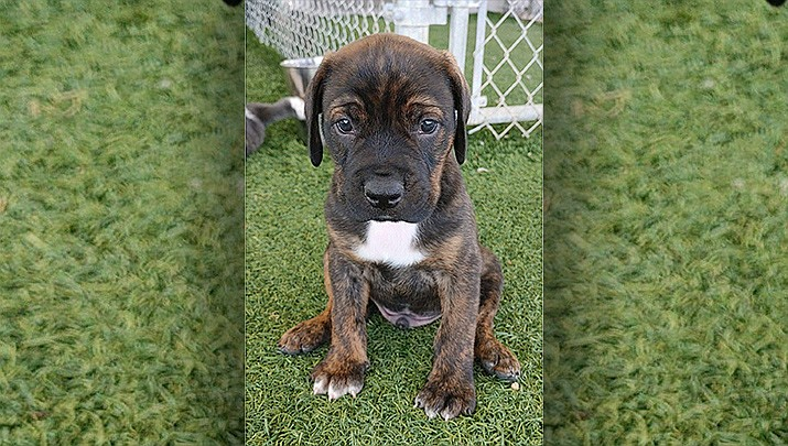 Humphrey, an 8-week-old mixed breed puppy, is available for adoption to his forever home. (Courtesy)