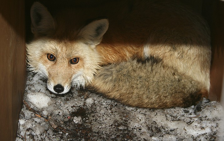 In this undated file photo provided by the California Department of Fish and Wildlife, a captured male red fox is seen. An environmental group filed a lawsuit Thursday, April 15, 2021, alleging the federal government has failed to act on petitions to protect nine different species under the Endangered Species Act and failed to designate critical habitat for 11 others. The complaint covers species from Oregon to Delaware and asks the U.S. Fish and Wildlife Service to make decisions on the species after years of delays. (California Department of Fish and Wildlife via AP, File)