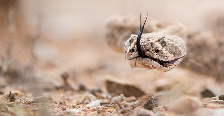 Pictured is a Western Diamondback rattlesnake. There are 13 varieties of rattlesnake in Arizona,  and the Western Diamondback is one of four commonly found in the Prescott area. (Courier stock photo)