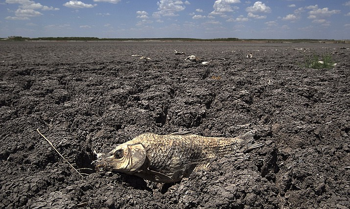 In this Wednesday, Aug. 3, 2011 file photo, the remains of a carp are seen on the dry lake bed of O.C. Fisher Lake in San Angelo, Texas. According to data released by the National Oceanic and Atmospheric Administration on Tuesday, May 4, 2021, the new United States normal is not just hotter, but wetter in the eastern and central parts of the nation and considerably drier in the West than just a decade earlier. (Tony Gutierrez/AP)