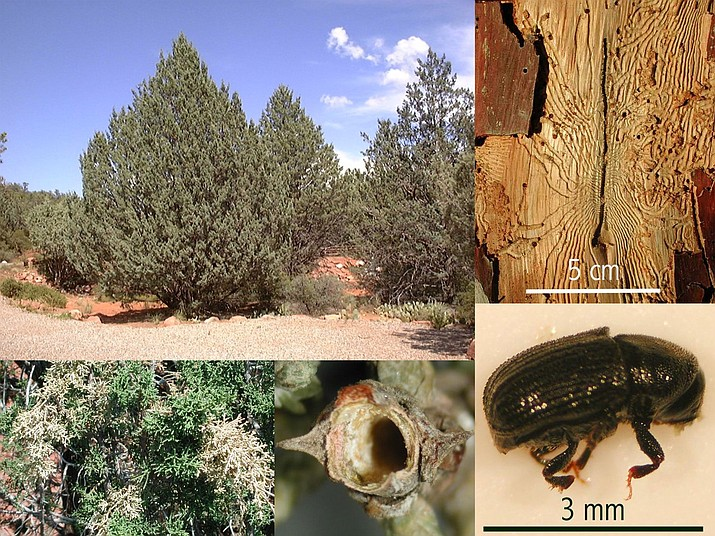 """Arizona cypress (Hesperocyparis arizonica) is an Arizona native tree and a common landscape/windbreak tree. Cypress bark beetles (Phloeosinus spp., lower right) are a native pest that can kill these trees (and other related species) when they are under drought stress and/or lack irrigation. Arizona cypress (upper left) often displays """"flagging"""" (dead branch tips, lower left) caused by the bark beetle boring into branch tips (middle bottom). Trees are killed when developing beetle larvae feed and girdle the tree (upper right). (Photos by Jeff Schalau, University of Arizona)"""