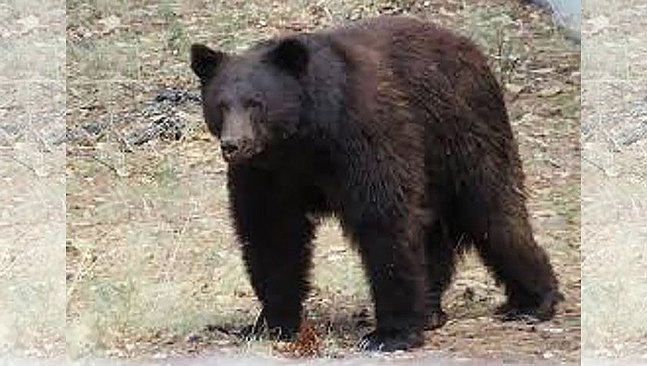 A black bear was sighted in the Town of Prescott Valley on Thursday morning, May 20, 2021. This is a file photo of a black bear. (PVPD/Courtesy)