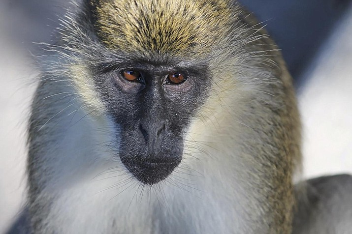 In this undated photo provided by Deborah Williams, a Vervet monkey is seen in Dania Beach, Florida. Dr. Williams, is the lead author of a study that determined where a colony of monkeys that has lived for about 70 years in urban South Florida came from. In 1948 a group of monkeys escaped from the Dania Chimpanzee Farm. Most were captured, but some disappeared into the mangrove swamp. The study determined that 41 descendants live in the area today. (Deborah Williams via AP)
