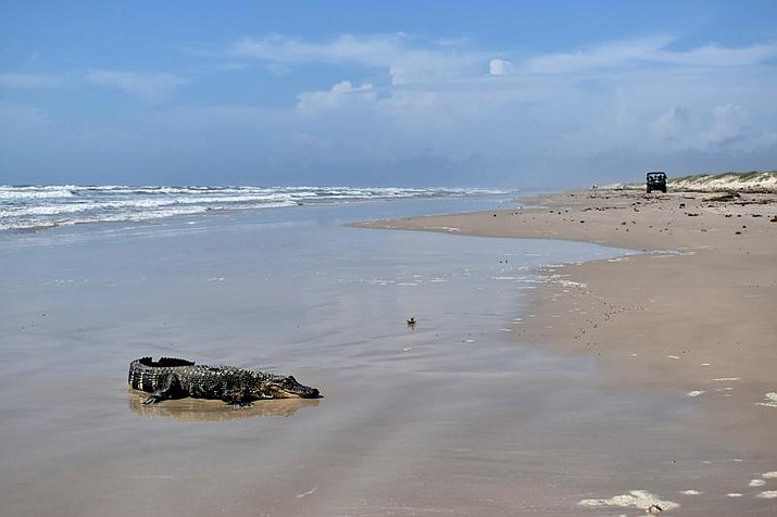 This May 24, 2021 photo provided by the National Park Service shows a young alligator traced to the Louisiana bayous on Padre Island beach in South Texas. Officials at Padre Island National Seashore said in a Facebook post that the gator showed up Monday, May 24, 2021, on Malaquite Beach, about 25 miles southeast of Corpus Christi. National Park Service rangers found it and checked its tail notch and tags on its rear feet to determine it had come from Louisiana. (K Rogers/National Park Service via AP)
