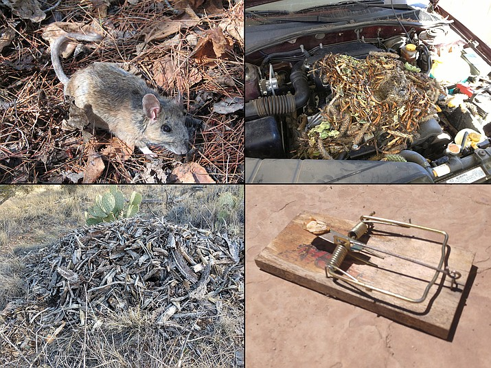 Woodrats (Neotoma spp.) are common across the deserts and highlands of Arizona. They have large ears and eyes with a furry tail and white underbelly (upper left, inaturalist.ca). Their nests are made up of live and dead vegetation and usually look like a simple pile of sticks (lower left, upper right, Jeff Schalau, University of Arizona). Large snap traps can be set to humanely manage wood rats (lower right, Jeff Schalau, University of Arizona). (Jeff Schalau/Courtesy)