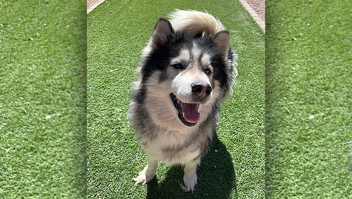 If you Juliet would make a perfect addition to your family, call the Chino Valley Animal Shelter at 928-636-4223, ext 7. (Chino Valley Animal Shelter)