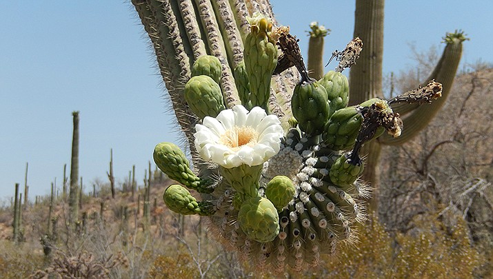 A saguaro cactus is pictured in bloom in Saguaro National Monument. (Photo by Velvetlady0, cc-by-sa-4.0, https://bit.ly/3pgN1ez)