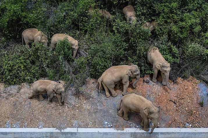 In this aerial photo file photo taken on May 28, 2021, and released by China's Xinhua News Agency, a herd of wild Asian elephants stands in E'shan county in southwestern China's Yunnan Province. A herd of 15 wild elephants that walked 500 kilometers (300 miles) from a nature reserve in China's mountain southwest were approaching the major city of Kunming on Wednesday, June 2, as authorities rushed to try to keep them out of populated areas. (Hu Chao/Xinhua via AP, File)