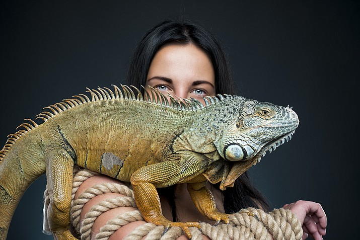 """A Florida judge has rejected PJ Nilaja Patterson's """"stand your ground"""" defense saying he beat an iguana to death only after it attacked him, biting him on the arm. Prosecutors say Patterson """"savagely beat, tormented, tortured, and killed"""" the 3-foot iguana (similar to the one shown here) in a half-hour attack caught on surveillance video. (Courier stock photo)"""