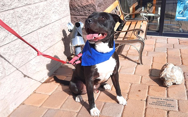 Bubba has been at the Verde Valley Humane Society for about 500 days, according to staff member Christine Heinze. He is a high-energy dog who needs a yard, Heinze said. VVN/Jason W. Brooks
