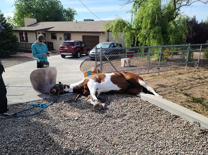 Chino Valley resident Beth Cuevas' horse, Denali, lays on his side after he fell within a cement culvert on her property on Wednesday, June 2, 2021. Cuevas immediately contacted Equine Emergency Evacuation (EEE), which dispatched volunteers to help extract the horse from the ditch. Denali sustained only minor injuries. (EEE/Courtesy)
