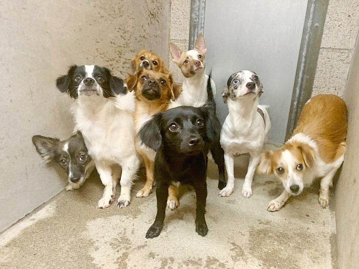 This group of small dogs were part of more than 60 that were rescued from a home on the 700 block of Prescott Heights Drive on Friday, June 4, 2021. (Prescott Police Department/Courtesy)