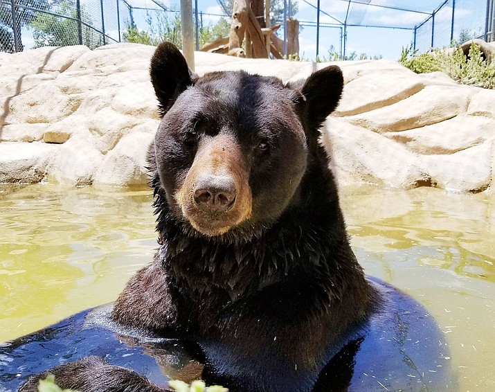 This 2017 file photo shows Shash in a pool at Heritage Park Zoological Sanctuary in Prescott. The black bear lived in Prescott for 27 years before passing away Tuesday, June 8, 2021. (Heritage Park/Courtesy)