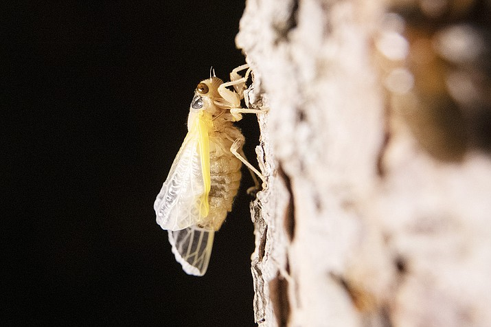 A cicada is seen after shedding its nymph shell on the trunk of a tree, early Monday, May 24, 2021, in Lutherville-Timonium, Md. (Julio Cortez/AP)