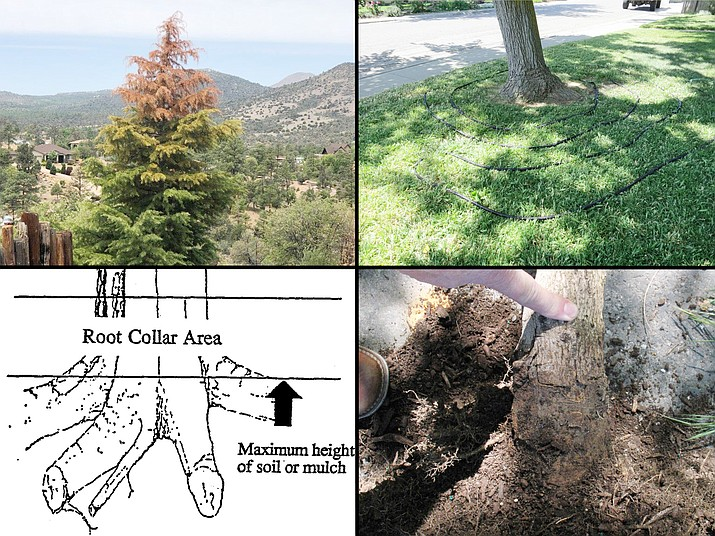 Drought impacts and/or improper planting can result in tree dieback and/or death. A Deodar cedar with a dead top (upper left, courtesy photo). Soaker hoses can be used to supplement tree irrigation (upper right, K-State Extension). Trunk wounds caused by root collar burial (lower right, Utah State University Extension). Schematic drawing of root collar area (lower left). (Jeff Schalau/Courtesy)