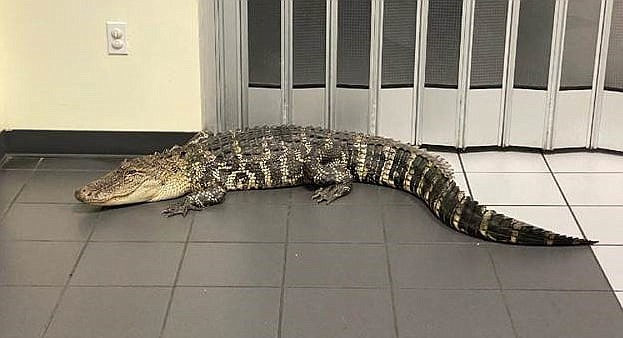 Sheriff's office officials in Florida say someone stopped by the Spring Hill Post Office about 3:30 a.m. on June 9, to drop off a package and saw this 7-foot (2-meter) gator roaming around the lobby. The building has automatic double doors that allows off-hours entry. (Hernando County Sheriff's Office)