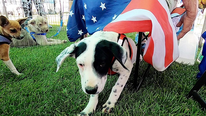 Marble, a five-month-old puppy, was adopted (pending approval) at Woofstock and Adopt-a-thon in Prescott Valley on Saturday, June 12, 2021. (Jesse Bertel/Courier)