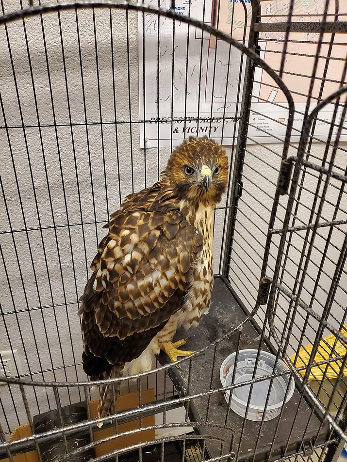 This red-tail hawk was rescued by Prescott Valley Animal Control Monday, June 14, 2021. (Courtesy)