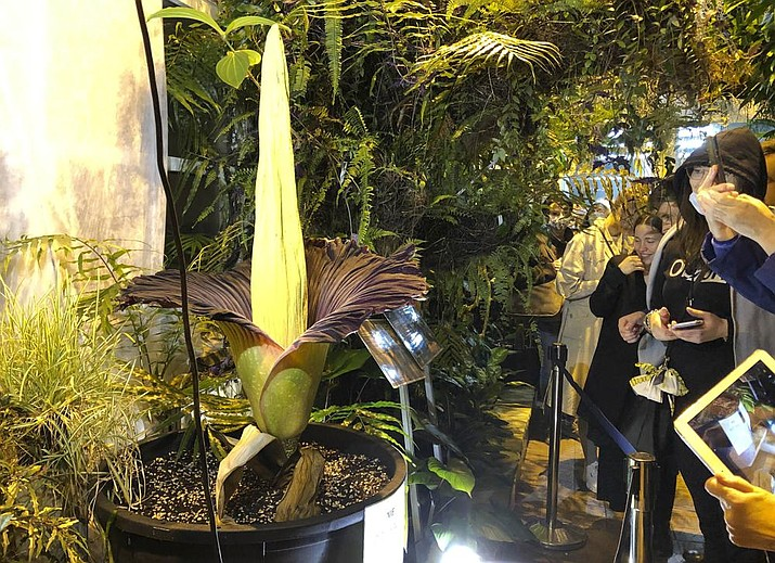 People come to see the rare blooming of the endangered Sumatran Titan arum, or the corpse flower, that is in fool bloom for just a few hours, emitting rotten meat odor, at the Warsaw University Botanical Gardens, in Warsaw, Poland, on Sunday, June 13, 2021. Hundreds of people waited for hours in cold wind to see the unusual flower, also known as Amorphophallus titanium, whose blooming is unpredictable and once in many years. Botanical gardens around the world help preserve this giant among flowers. (AP Photo/Monika Scislowska)