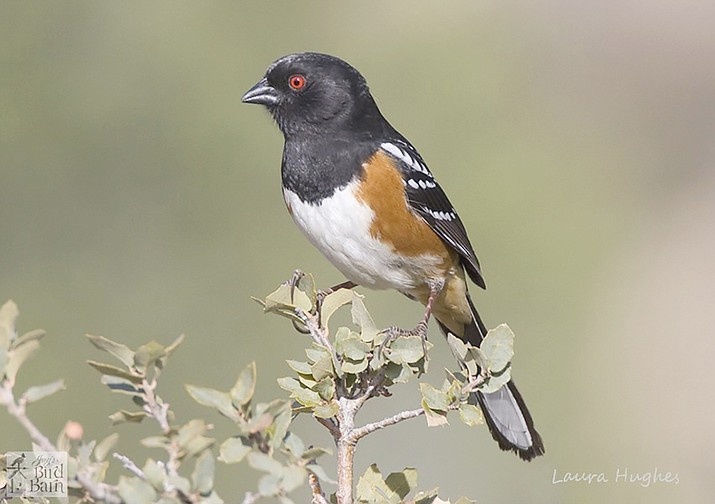 A spotted towhee dropped in for a visit last week. (Eric Moore/Courtesy)