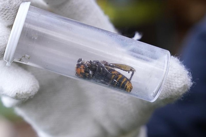 In this Oct. 24, 2020 file photo a Washington State Department of Agriculture worker displays an Asian giant hornet taken from a nest, in Blaine, Wash. Scientists have found a dead Asian giant hornet north of Seattle, the first so-called murder hornet found in the state this year, federal and state investigators said Wednesday, June 16, 2021. (AP Photo/Elaine Thompson,File)