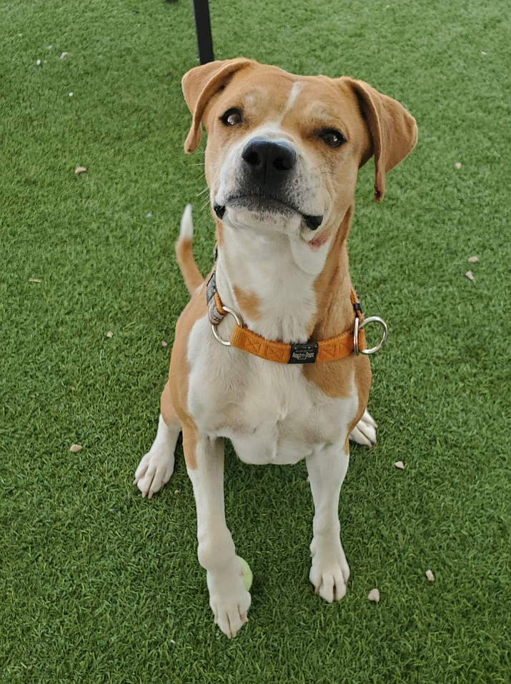 Cookie is an approximately 4-year-old Pit Bull mix, and is available for adoption from the Chino Valley Animal Shelter. (Courtesy)