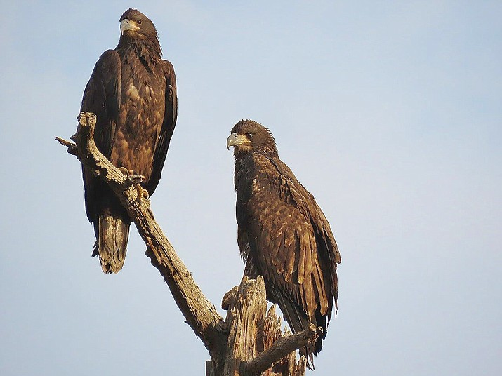 Two juvenile Bald Eagles are now out of the nest at Lynx Lake. (Everett Sanborn/Courtesy)