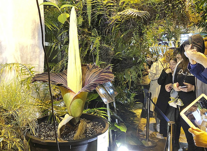 People come to see the rare blooming of the endangered Sumatran Titan arum, or the corpse flower, that is in fool bloom for just a few hours, emitting rotten meat odor, at the Warsaw University Botanical Gardens, in Warsaw, Poland, on Sunday, June 13, 2021. Hundreds of people waited for hours in cold wind to see the unusual flower, also known as Amorphophallus titanium, whose blooming is unpredictable and once in many years. Botanical gardens around the world help preserve this giant among flowers. (Monika Scislowska/AP)