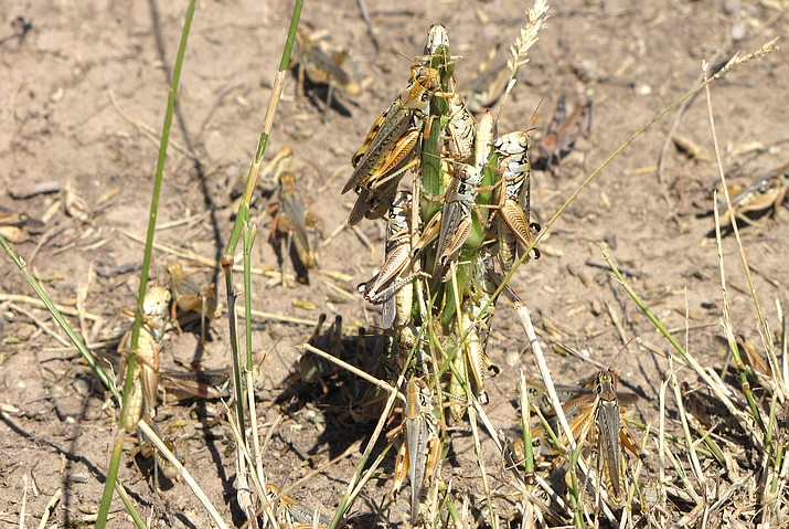 Federal agriculture officials are launching what could be the largest grasshopper-killing campaign since the 1980s amid an outbreak of the drought-loving insects that cattle ranchers fear will strip bare public and private rangelands. (U.S. Department of Agriculture's Animal and Plant Health Inspection Service via AP)