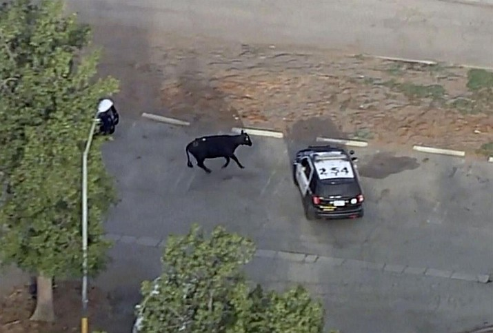 This image from KABC video shows a cow and police in the Whittier Narrows recreation area of South El Monte, Calif. on Thursday, June 24, 2021. The cow was missing from a slaughterhouse earlier in the week. (via AP)