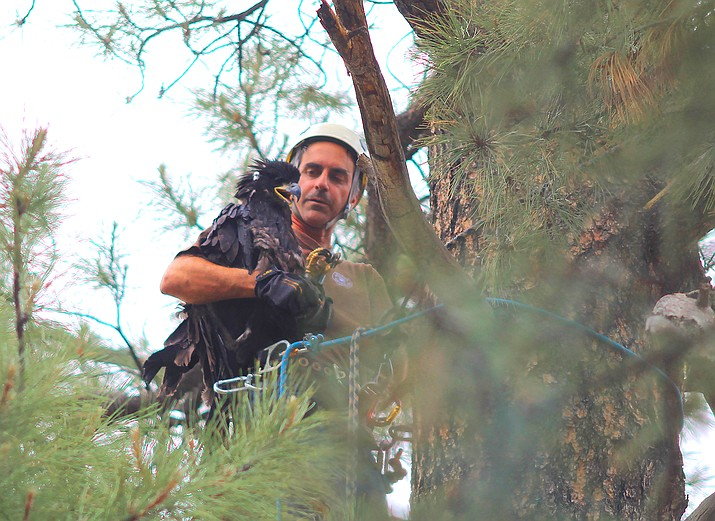 After one of the young eagles flew from the nest to the ground, AZGFD Wildlife Biologist Kyle McCarty checked the health of the eaglet, placed ID bands on its legs and put it back in a ponderosa pine tree. (Wendy Howell/WGCN)