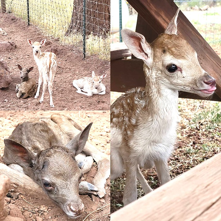 Twelve new fallow fawns were born at Grand Canyon Deer Farm over the last several weeks. (Photos/Grand Canyon Deer Farm)