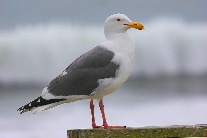 Adult California gull. (Courier stock photo)