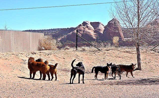 Aggressive dogs have become a serious concern on the Navajo Nation after several recent attacks in Tuba City and around the Navajo Nation. (Submitted photo)