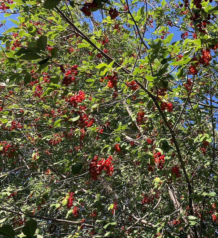Chokecherry trees are a great way to attract wild birds to your yard.  This picture was taken in my yard this week. (Eric Moore/Courtesy)