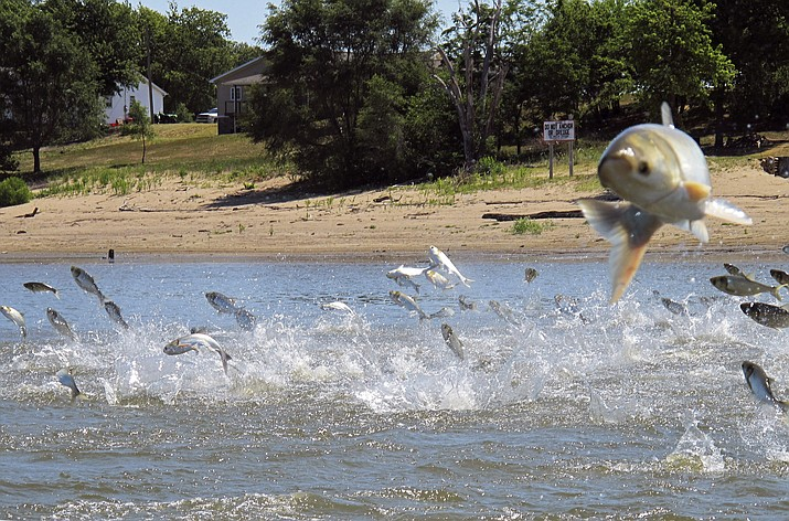 """Asian carp, jolted by an electric current from a research boat, jump from the Illinois River near Havana, Ill. The U.S. Fish and Wildlife Service has changed its designation to """"invasive carp."""" (John Flesher/AP, File)"""