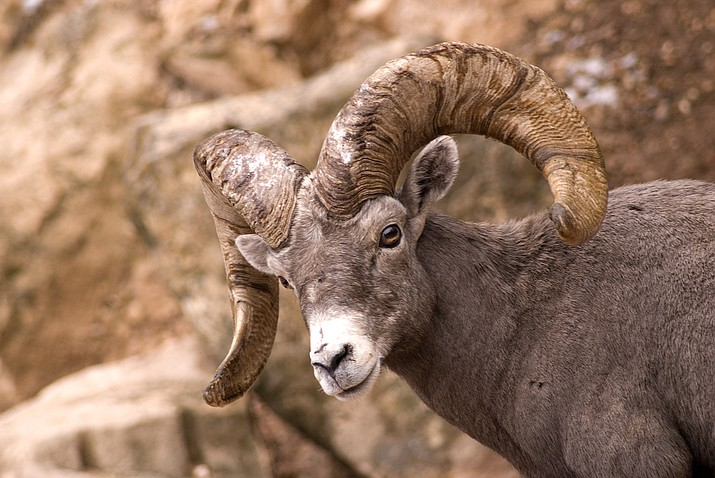 A desert bighorn sheep was poached at Gillespie Dam southwest of Phoenix. (Adobe stock)