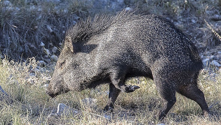 There are 22 surplus tags available for the fall youth javelina hunt in Arizona, according to the Arizona Game and Fish Department. (Adobe image)