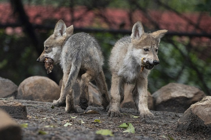 Mexican wolf pups eat a quail carcass in their enclusure at Chapultepec Zoo in Mexico City, Friday, July 2, 2021. The pups were born on April 24 and are part of a binational effort with the U.S. to help the species recover. (Fernando Llano/AP)