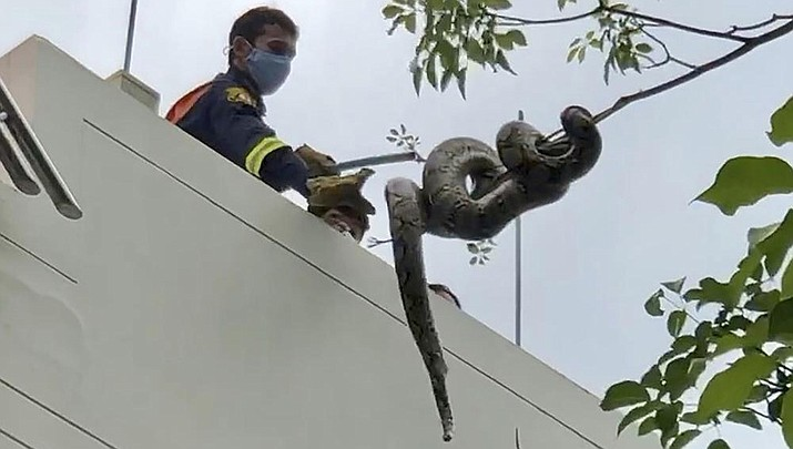 In this image made from video, a firefighter tries to capture a python in the Benjasiri Park in Bangkok, Thailand on Thursday, July 15, 2021. (Adam Schreck/AP)