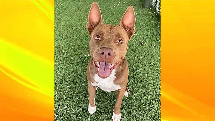 Diesel is an approximately 1- to 2-year-old Pit Bull/Boxer mix, and was found with his sister. (Chino Valley Animal Shelter/Courtesy)