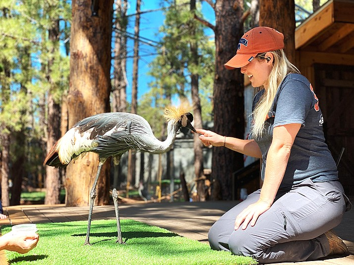 Hops, a crowned crane, enjoys a stroll through Bearizona Wildlife Park with trainer Megan. The park now features surprise encounters with a variety of animals in the walk-thru fort.  (Photo/Bearizona)